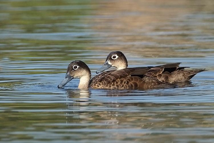 Andaman teal Andaman Teal Anas albogularis Animals Birds Page 2 Pinterest