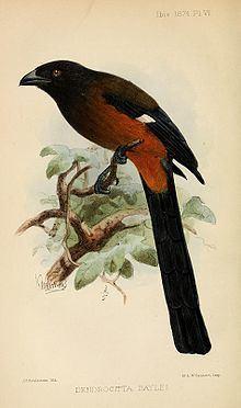 Andaman treepie httpsuploadwikimediaorgwikipediacommonsthu