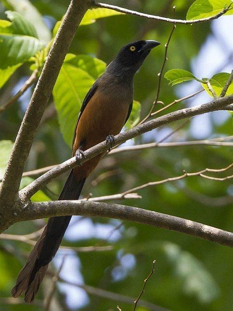 Andaman treepie Oriental Bird Club Image Database Andaman Treepie Dendrocitta
