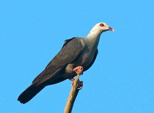 Andaman wood pigeon Columba hodgsonii speckled wood pigeon bird Pinterest Wood