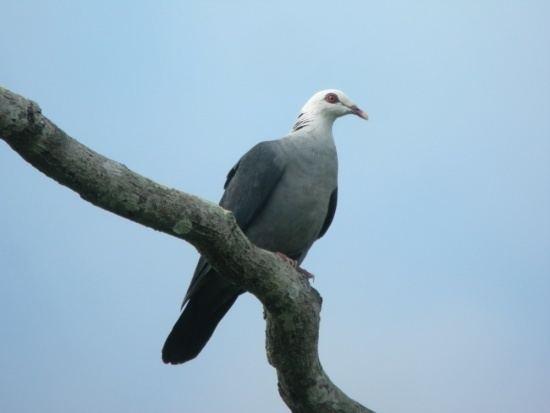 Andaman wood pigeon Andaman Wood Pigeon BirdForum Opus