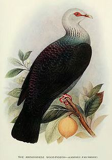Andaman wood pigeon Andaman wood pigeon Wikipedia