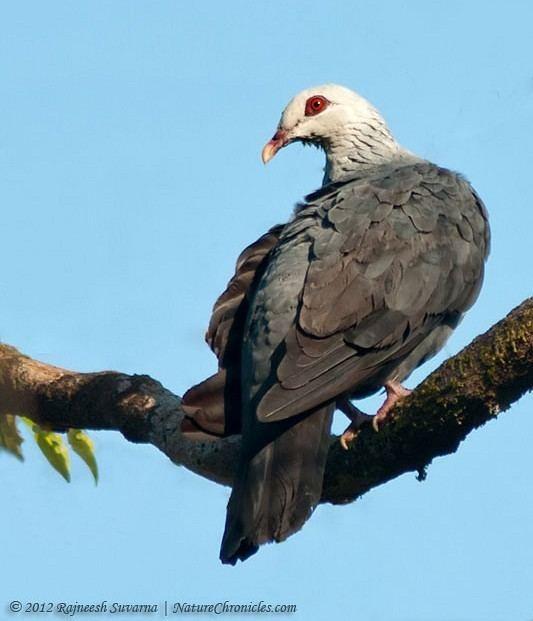 Andaman wood pigeon Oriental Bird Club Image Database Andaman Wood Pigeon Columba