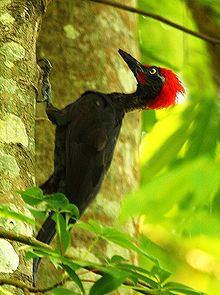Andaman woodpecker httpsuploadwikimediaorgwikipediacommonsthu