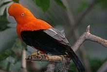 Andean cock-of-the-rock httpsuploadwikimediaorgwikipediacommonsthu