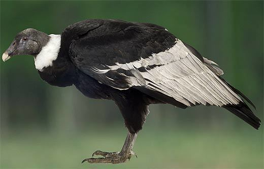 Andean condor Andean Condor Largest Wingspan Gruesome Eator Animal Pictures