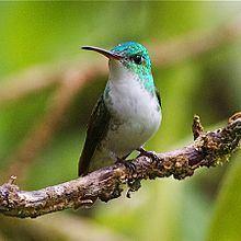 Andean emerald httpsuploadwikimediaorgwikipediacommonsthu