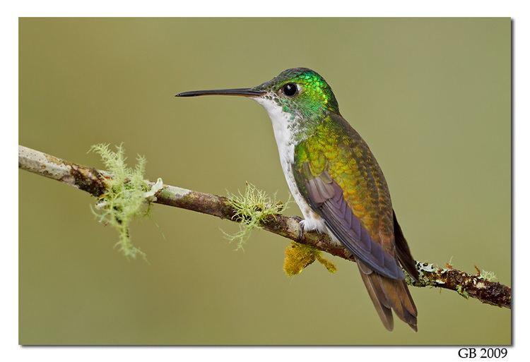 Andean emerald ANDEAN