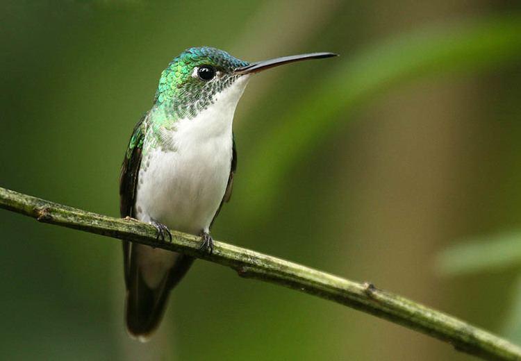 Andean emerald Andean emerald Wikipedia