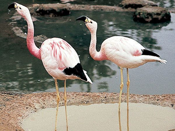 Andean flamingo Andean FlamingoEndangered animals listOur endangered animals