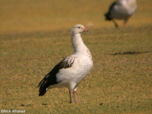 Andean goose Andean Goose Chloephaga melanoptera Planet of Birds