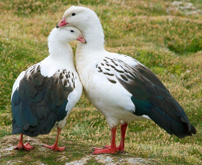 Andean goose Surfbirds Online Photo Gallery Search Results