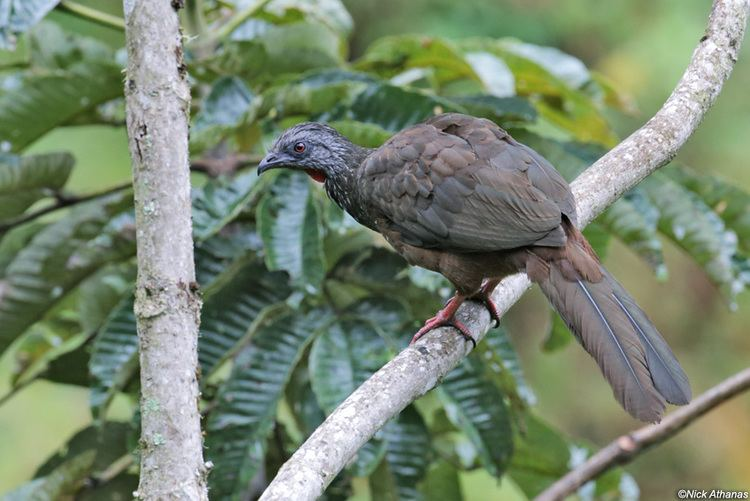 Andean guan antpittacom Photo Gallery Guans Curassows and Chachalacas