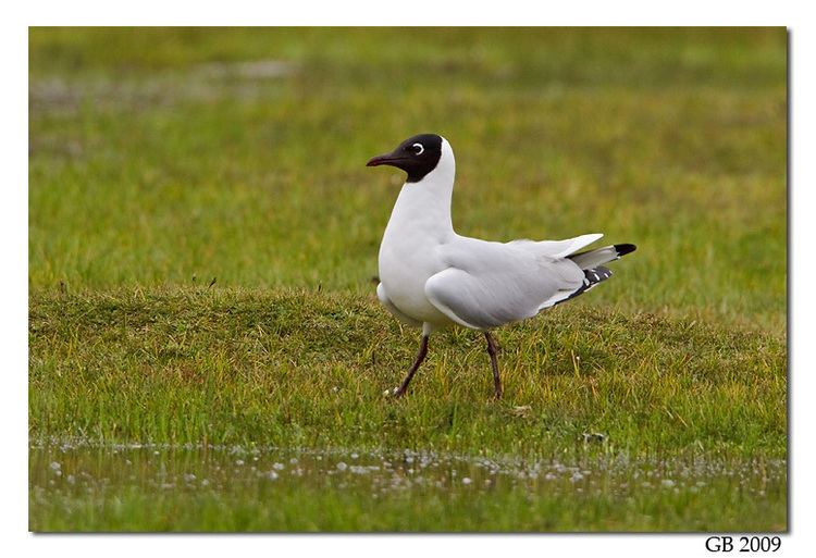 Andean gull ANDEAN