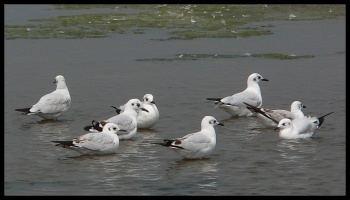 Andean gull Andean Gull BirdForum Opus