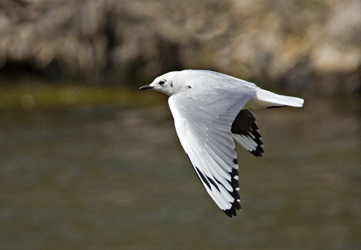 Andean gull Andean Gull Larus serranus