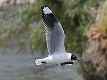 Andean gull httpsuploadwikimediaorgwikipediacommonsthu