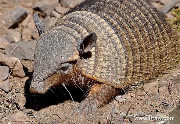 Andean hairy armadillo Andean hairy armadillo