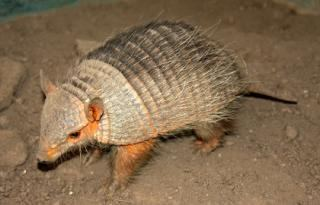 Andean hairy armadillo ZootierlisteHomepage