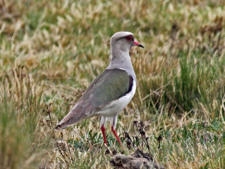 Andean lapwing FileAndean Lapwing RWDjpg Wikimedia Commons