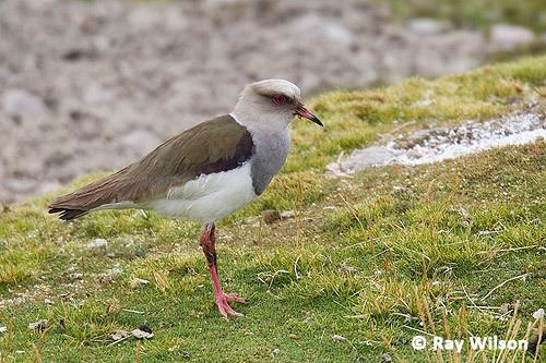 Andean lapwing Andean Lapwing Vanellus resplendens