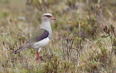 Andean lapwing Andean Lapwing Vanellus resplendens Photo Image