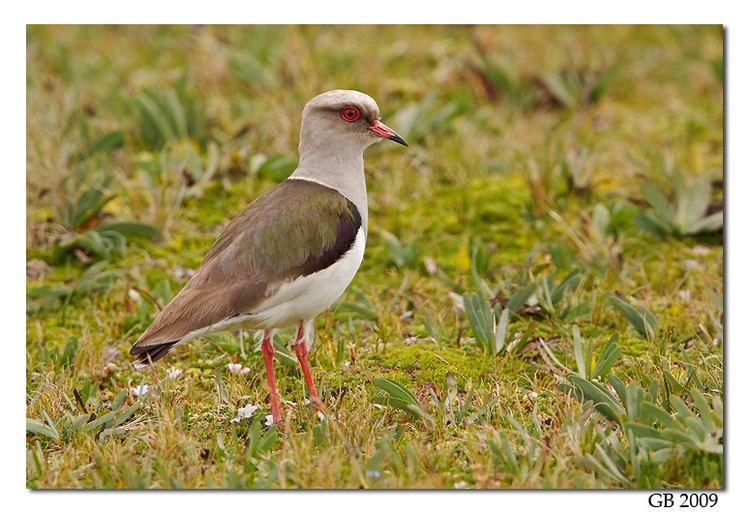 Andean lapwing ANDEAN