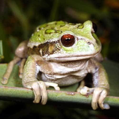 Andean marsupial tree frog wwwreptilesncritterscomimageslargeandeanmars