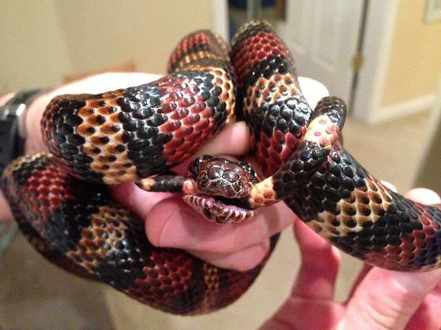 Andean milk snake Andean milk snake must have been hungry Arachnoboards