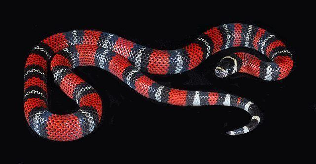 Andean milk snake Diary of a Mad Pet Enthusiast Species of the Day Andean Milk Snake