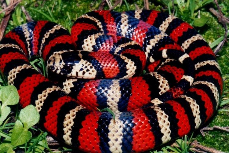 Andean milk snake MILKSNAKES WORLD PITUOPHIS WEB PAGE BY PATRICK H BRIGGS