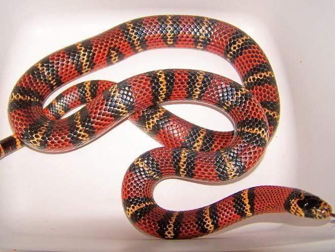 Andean milk snake Male Andean Milksnake pics