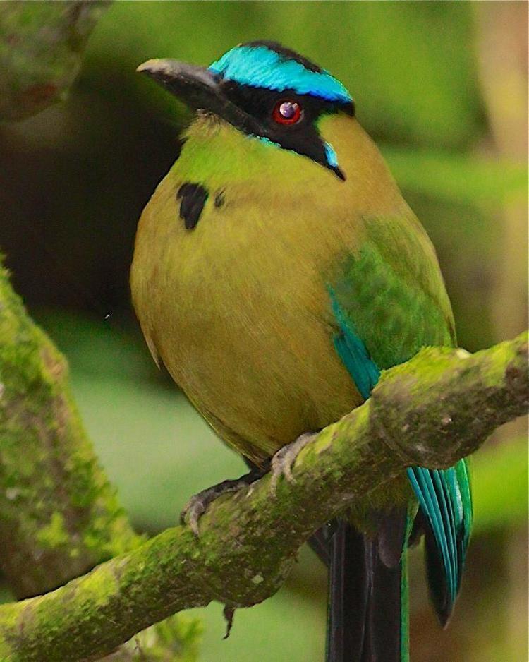Andean motmot BirdsEye Photography Review Photos
