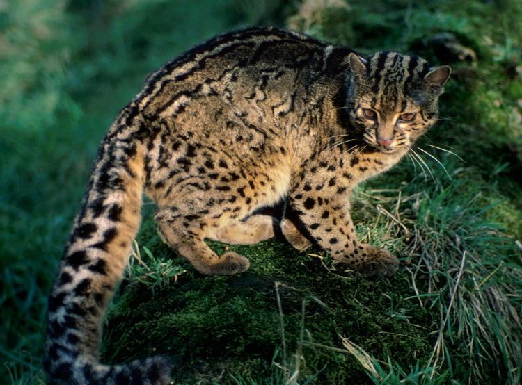 Andean mountain cat Andean Mountain Cat Facts Cat39s Habitat Diet Distribution