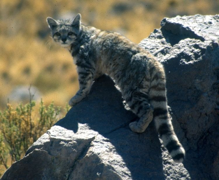 Andean mountain cat Andean mountain cat Wikipedia