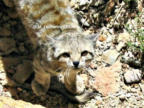 Andean mountain cat Andean Cat International Society for Endangered Cats ISEC Canada