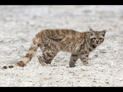 Andean mountain cat Andean Mountain Cat Leopardus jacobita YouTube