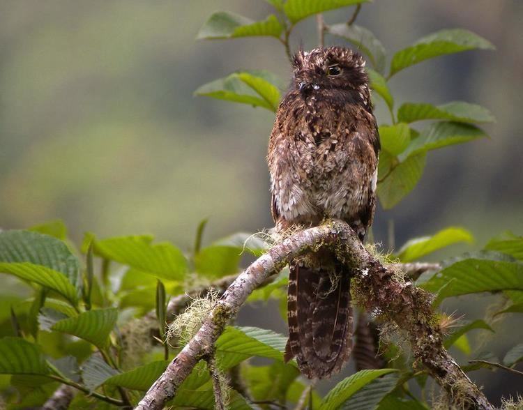 Andean potoo Andean Potoo Nyctibius maculosus videos photos and sound