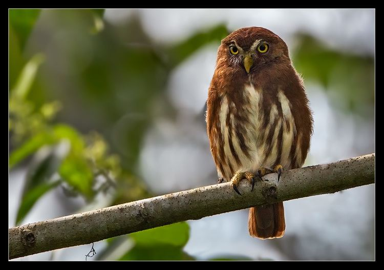 Andean pygmy owl Andean Pygmy Owljpgm1343767842