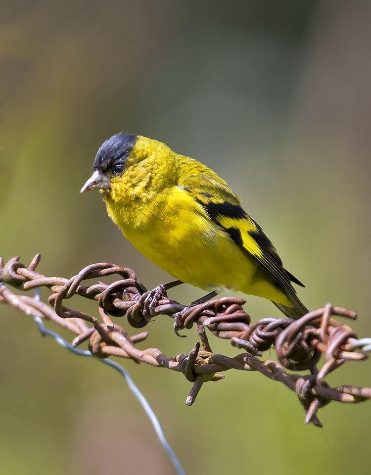 Andean siskin Andean Siskin Carduelis spinescens BIRDS FRINGILLIDAE finches