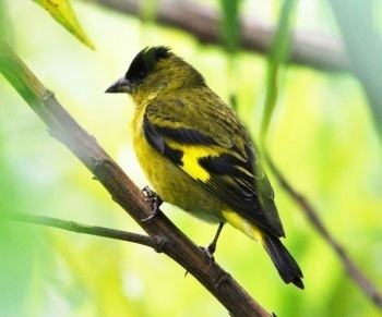 Andean siskin wwwbirdforumnetopusimagesthumb667AndeanSi