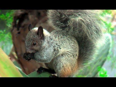Andean squirrel httpsiytimgcomviofOwulZbCBkhqdefaultjpg