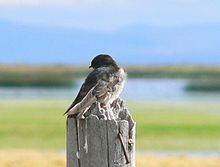 Andean swallow httpsuploadwikimediaorgwikipediacommonsthu