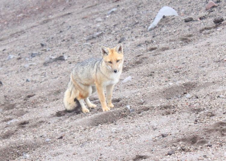 Andean wolf Andean Wolf Photos Diagrams amp Topos SummitPost