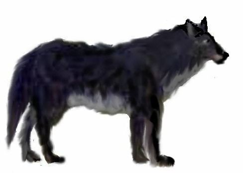 Andean wolf Andean wolf The Andean Wolf or Hagenbeck39s Wolf is an