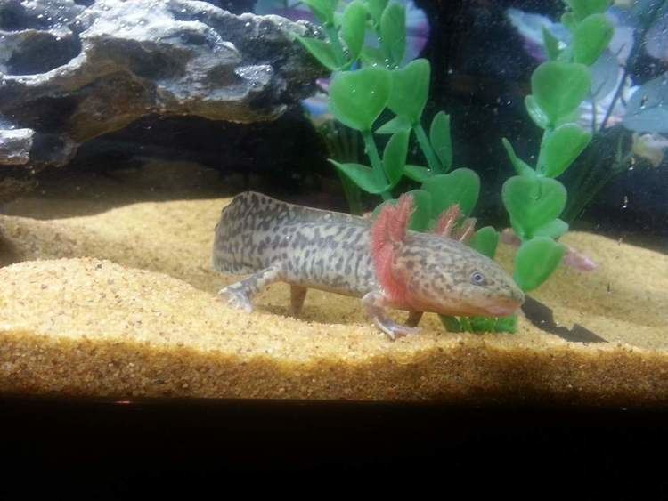 Anderson's salamander Question Anderson39s Salamander AAndersoni Caudataorg Newt and