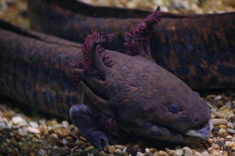 Anderson's salamander Anderson39s salamander ZooChat