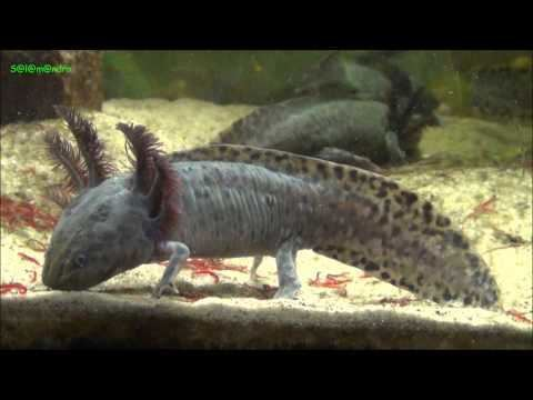 Anderson's salamander Ambystoma andersoni Anderson39s Salamander YouTube