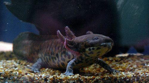 Anderson's salamander Anderson39s Salamander Characteristics Habitat amp Breeding