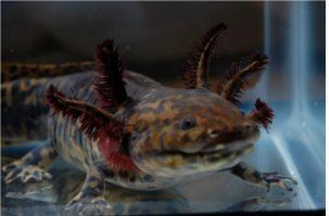 Anderson's salamander Conservation Update Endangered Anderson39s Salamanders Bred by US